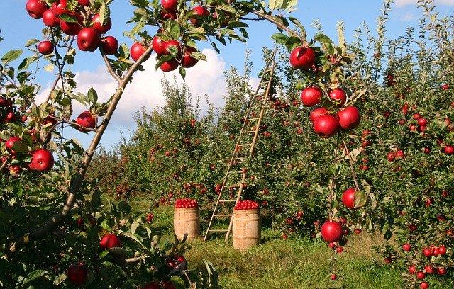 sad jabloní