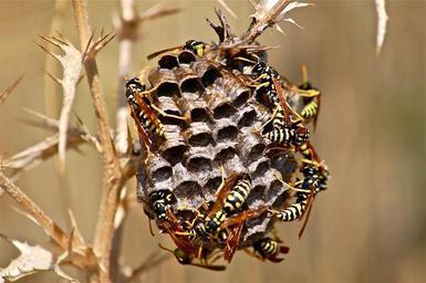 vosí hnízdo